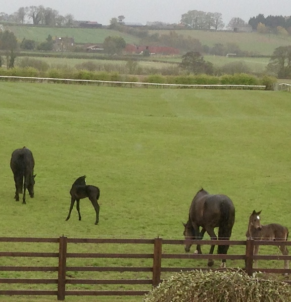 Mares and foals grazing at Thornton Lodge.